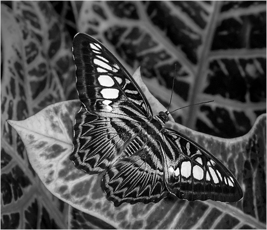 Blue Clipper on Croton - Monochrome Print - Peggy Boike