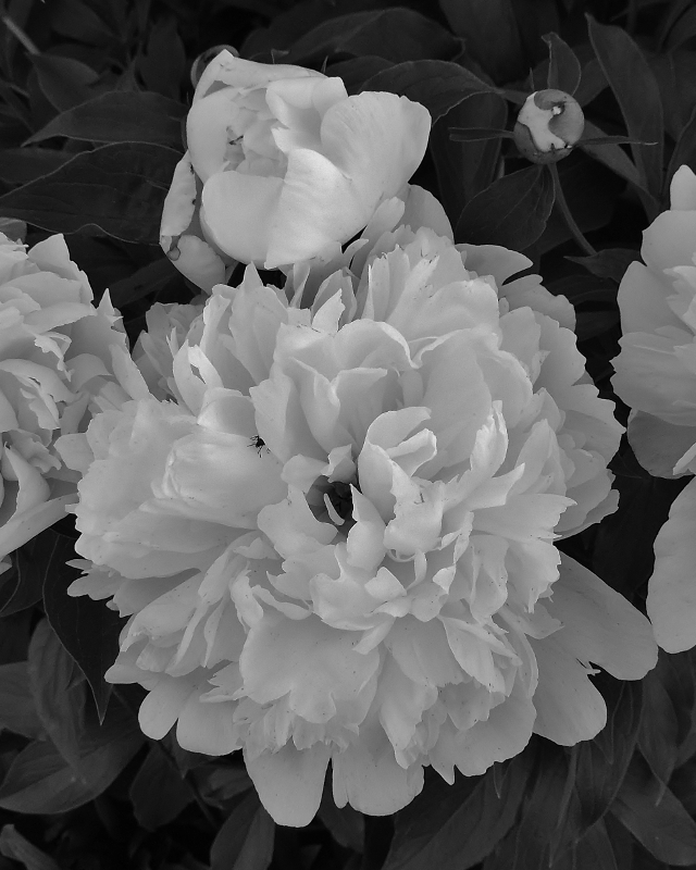 Mother's Peonies - Monochrome Print - Name Withheld Per Request