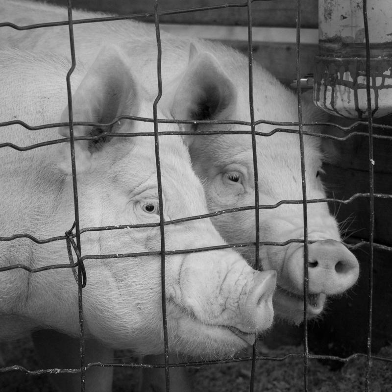 Pig Buddies - Monochrome Print - Rick Riddle