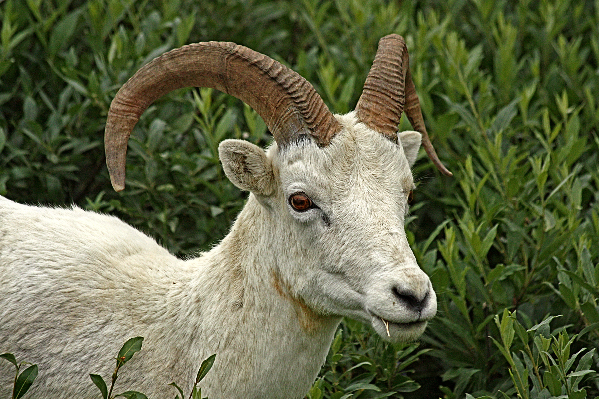 Dall Sheep - Digital(Realistic) - Name Withheld Per Request