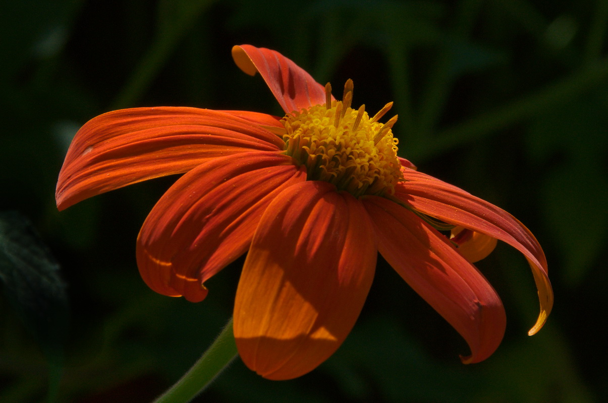 Mexican Sunflower - Digital(Realistic) - Name Withheld Per Request