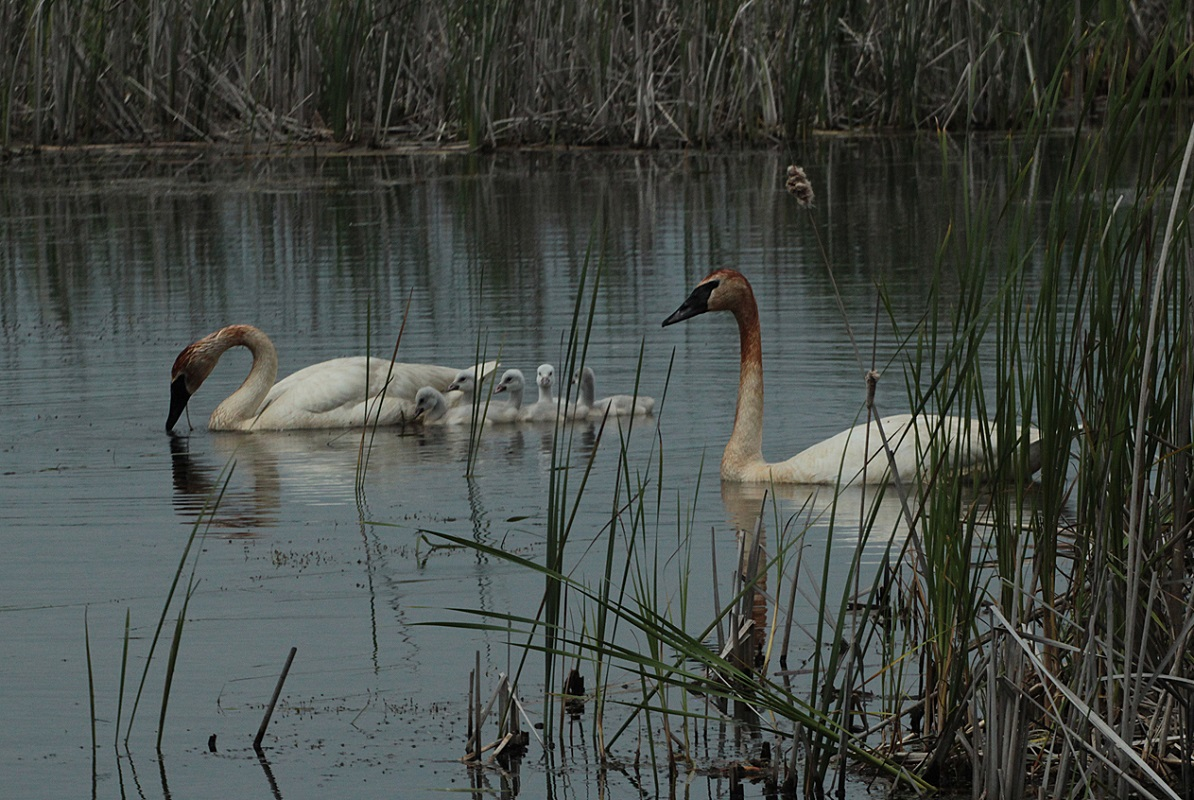 Tundra Swans - Digital(Realistic) - Name Withheld Per Request