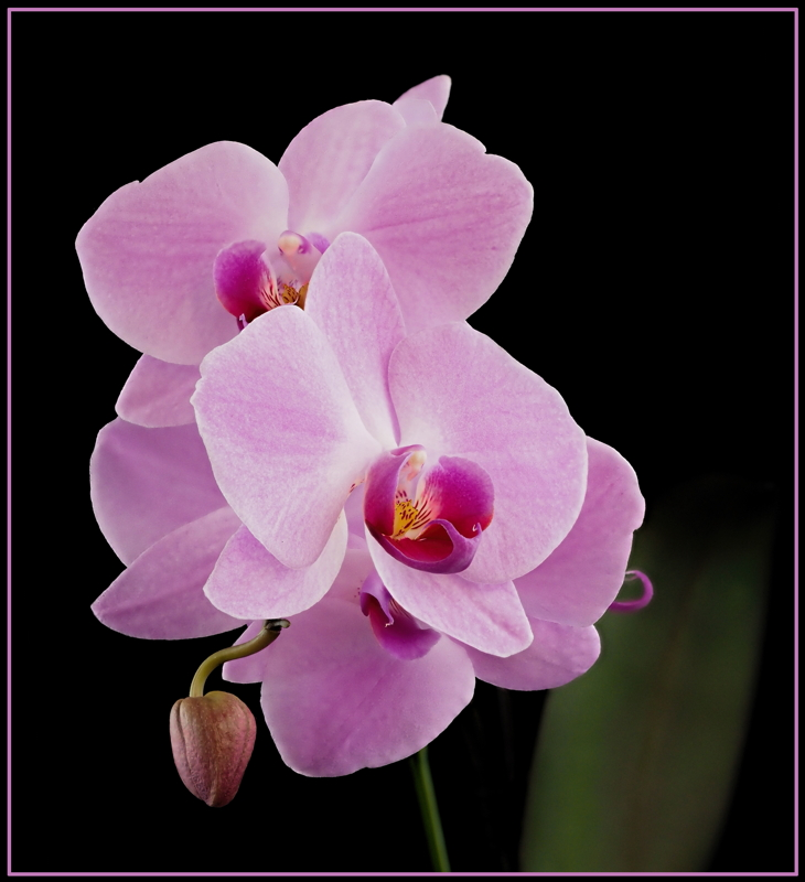Orchid Beauty - Color Print - Name Withheld Per Request