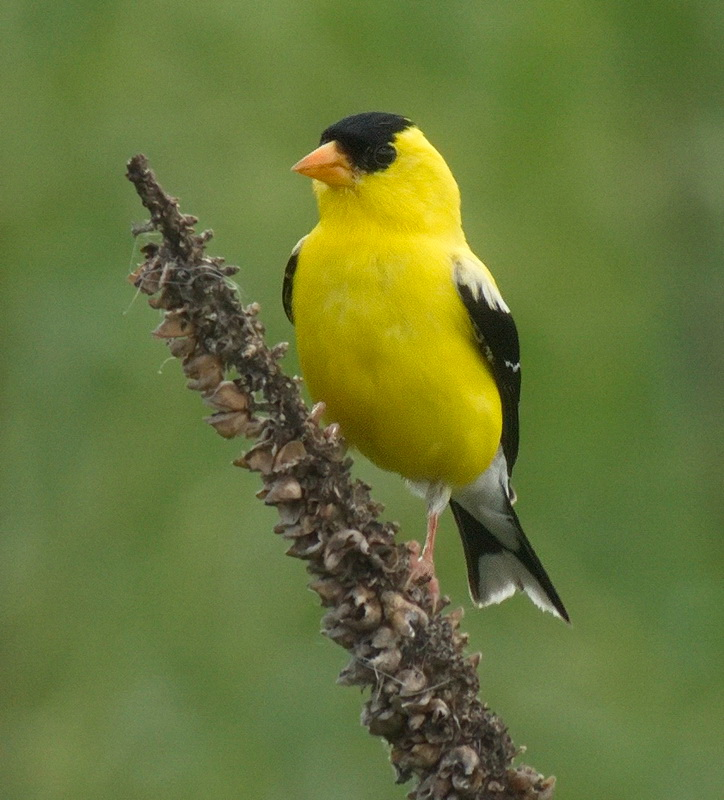 American Goldfinch - Digital (Nature) -  Name Withheld Per Request