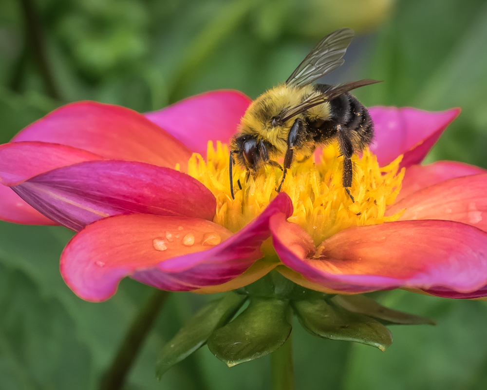Bee and Dahlia - Digital (Nature) - Cindy Carlsson