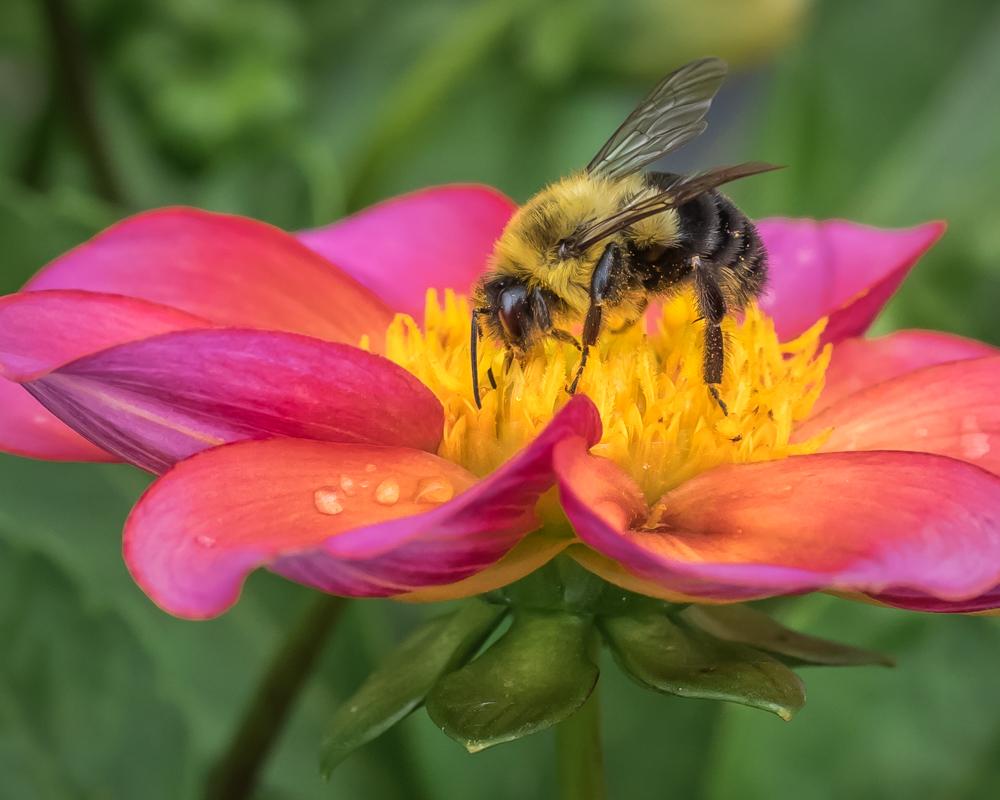 Bee and Dahlia - Digital (Nature) - Cindy Carlsson