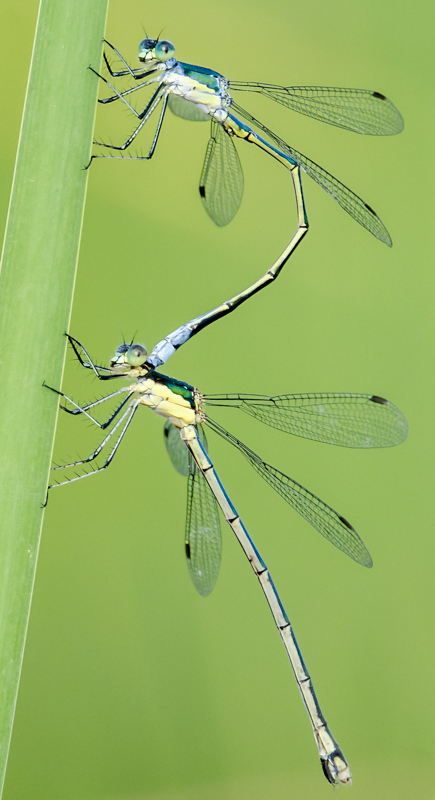 Double Damselfly - Digital (Nature) - Name Withheld Per Request