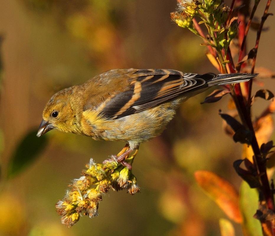 Finch at Dusk - Digital (Nature) - Larry Syverud
