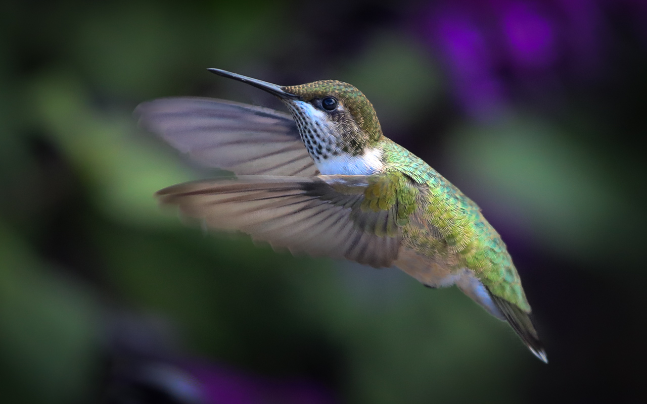 Hummingbird in Fligh - Digital (Nature) - Name Withheld Per Request
