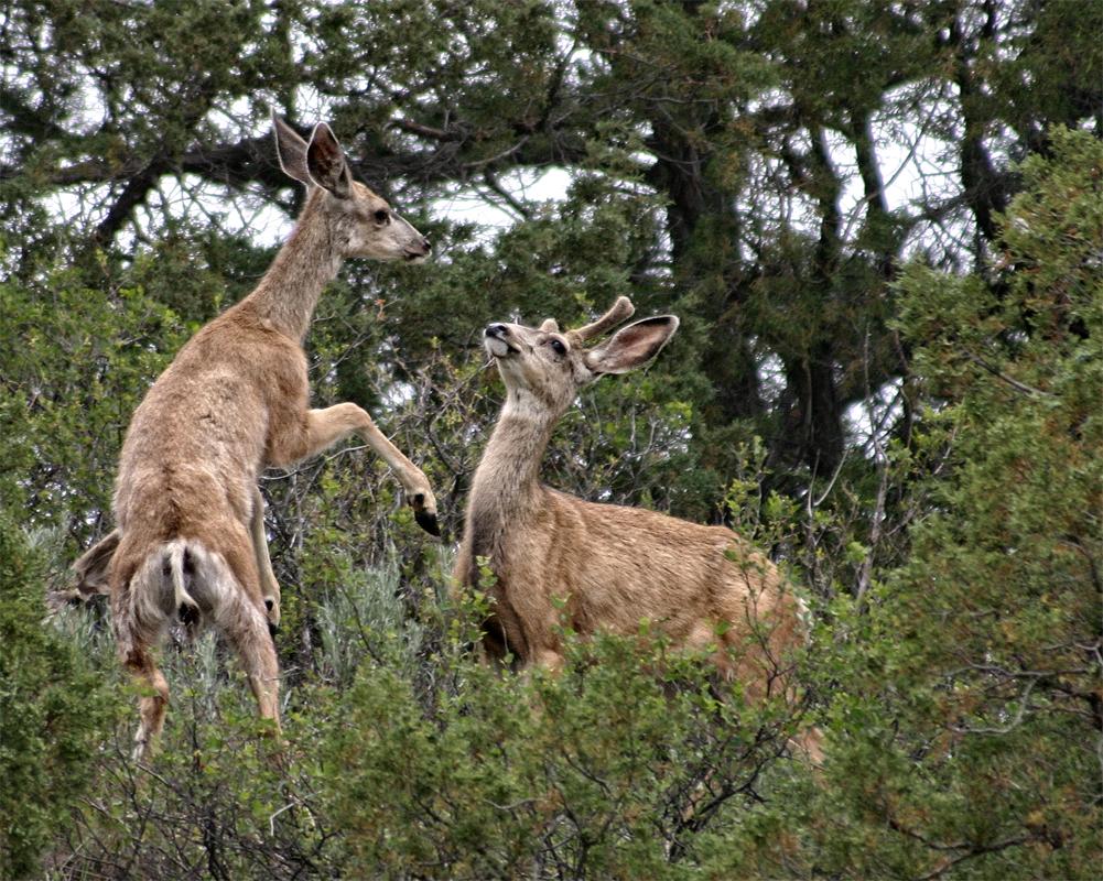 Mule Deer - Digital (Nature) - Name Withheld Per Request