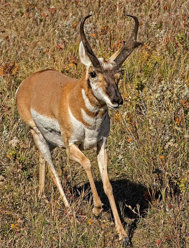 Pronghorn - Digital (Nature) - Name Withheld Per Request