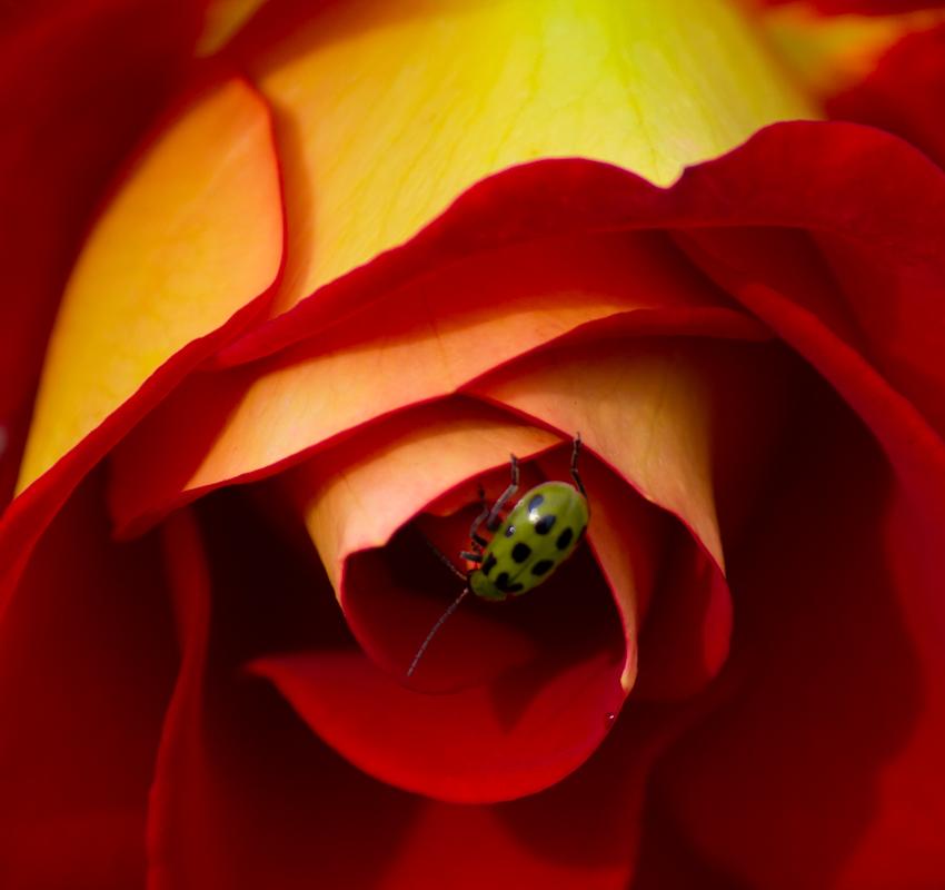 Spotted Cucumber Beetle - Digital (Nature) - Tara Nelson