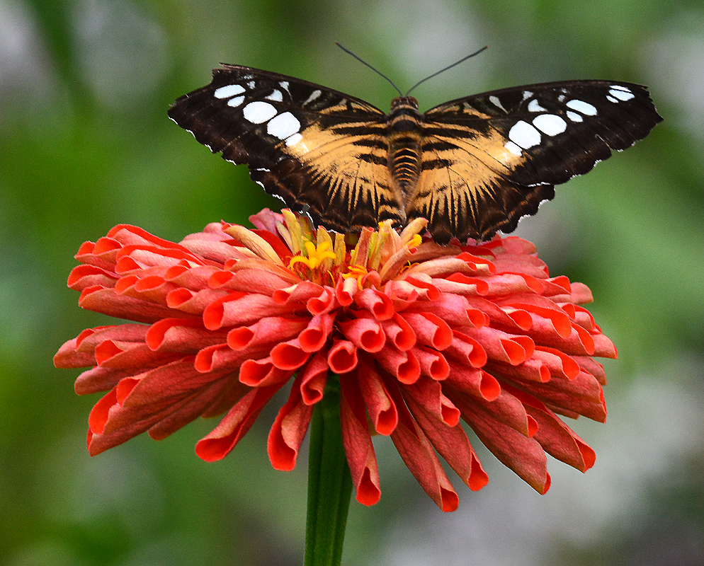 Tiger Long Wing Butterfly - Digital (Nature) - Name Withheld Per Request