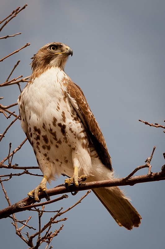 Immature Redtailed Hawk - Digital (Nature) - Name Withheld Per Request