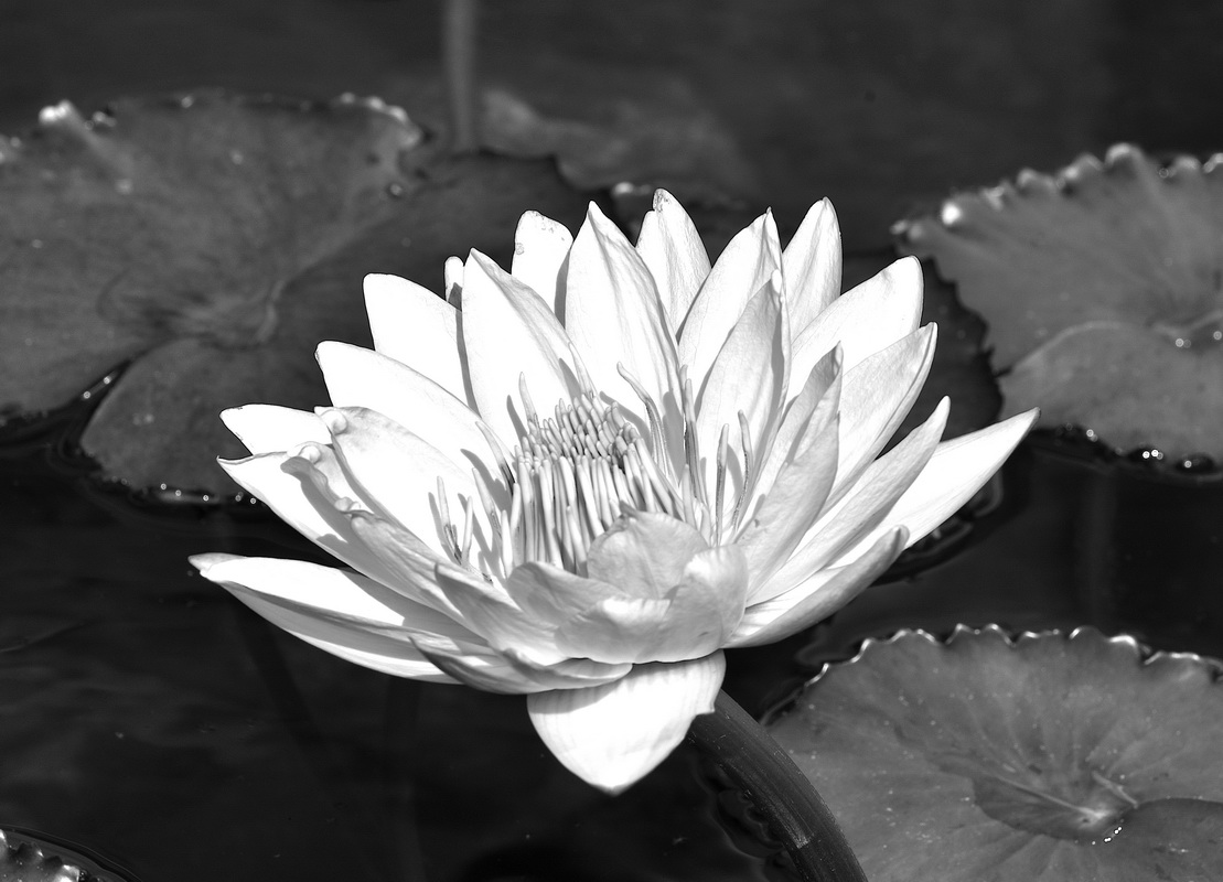 Water Lily - Monochrome Print - Name Withheld Per Request