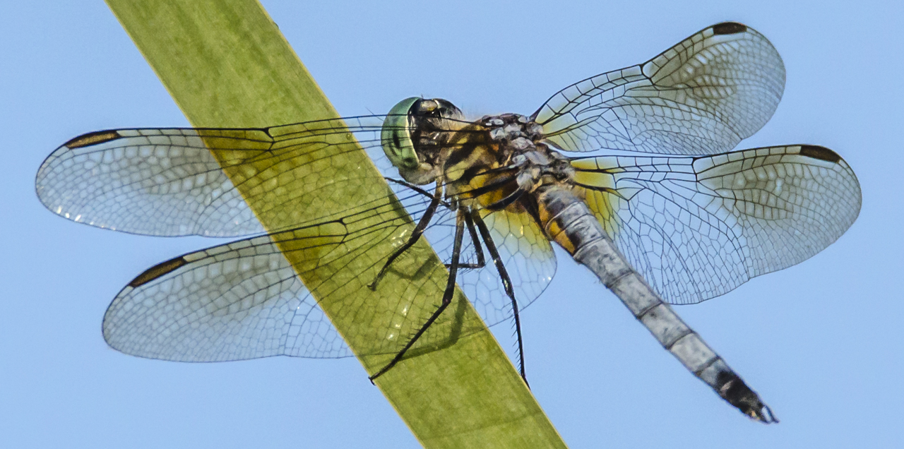 Eastern Pondhawk - Digital(Open) - Name Withheld Per Request