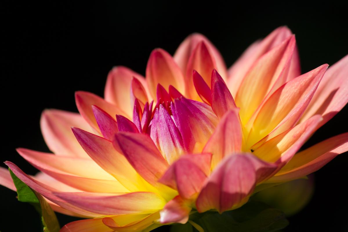 Peachy Petals - Digital(Open) - Name Withheld Per Request