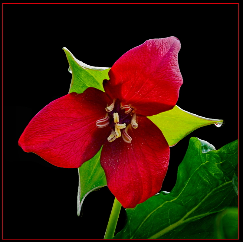 Red Beauty - Digital(Open) - Name Withheld Per Request