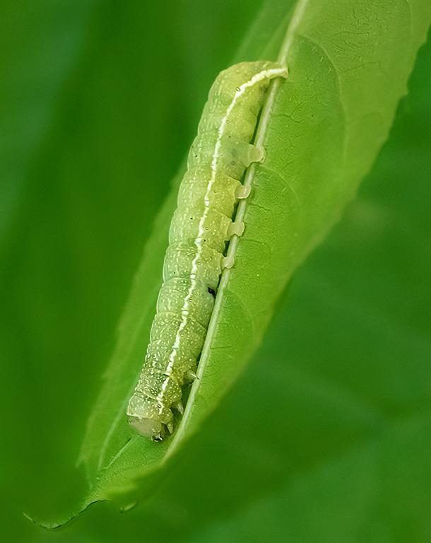 Alsophila Caterpillar Crawling Down - Color Print - Peggy Boike