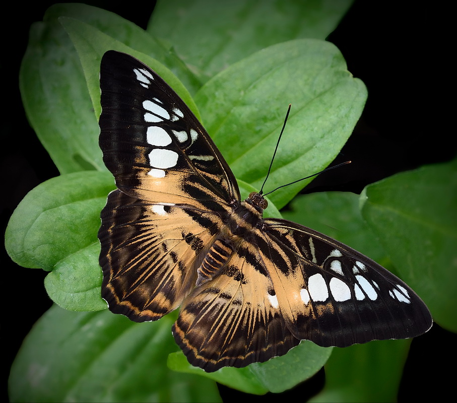 Brown Clipper Butterfly - Color Print - Name Withheld Per Request