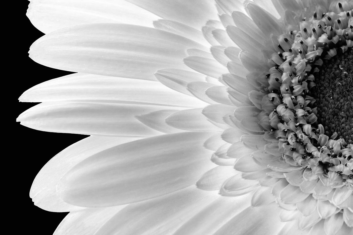Gerber Daisy - Digital(Monochrome) - Name Withheld Per Request