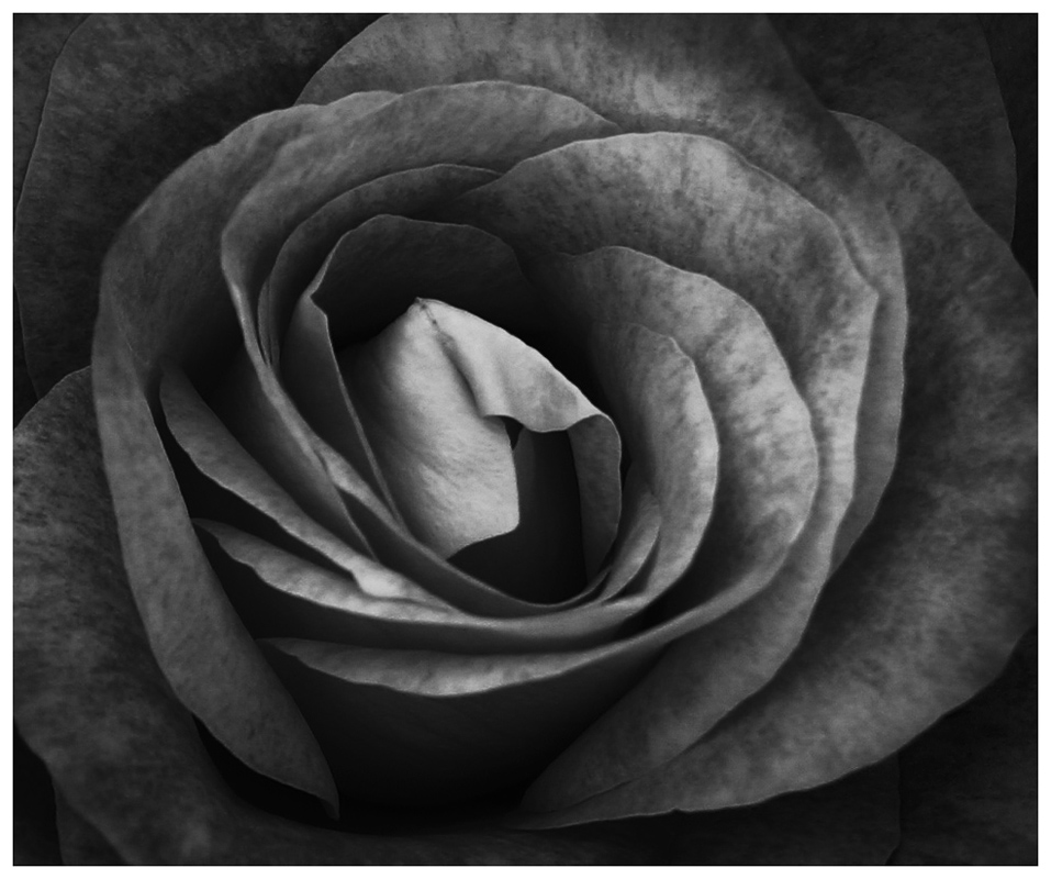 Rose Blossom - Digital(Monochrome) - Bill Wesen
