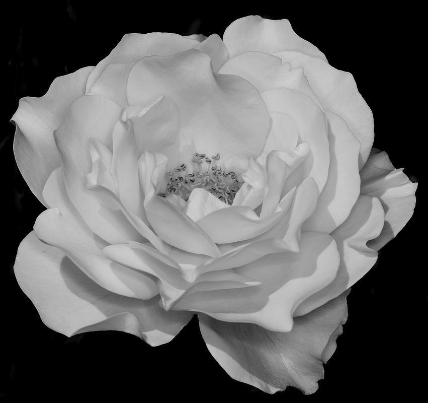 White Rose - Digital(Monochrome) - Name Withheld Per Request