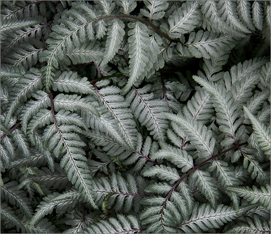 Ferns A-Whirl - Digital(Patterns) - Name Withheld Per Request