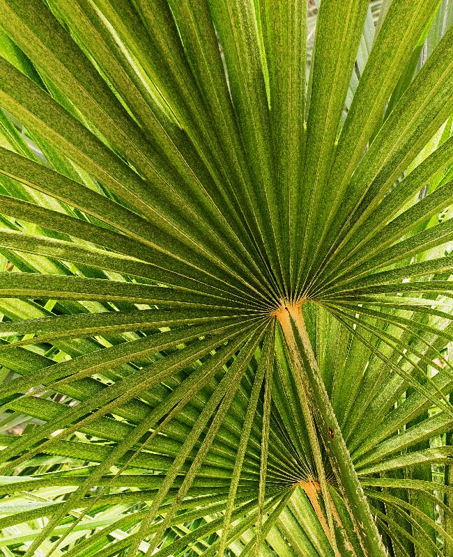 Palm Fan Patterns - Digital(Patterns) - Peggy Boike