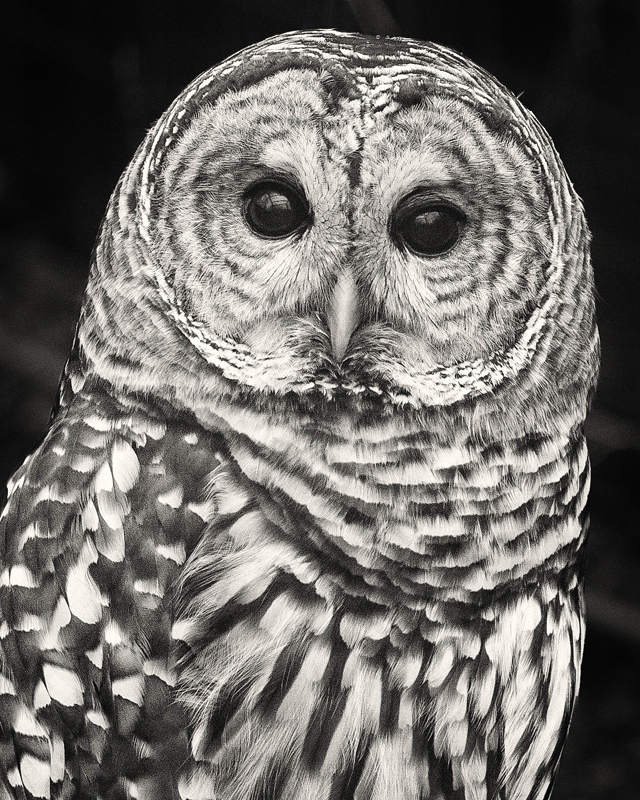 Barred Owl - Monochrome Print - Name Withheld Per Request