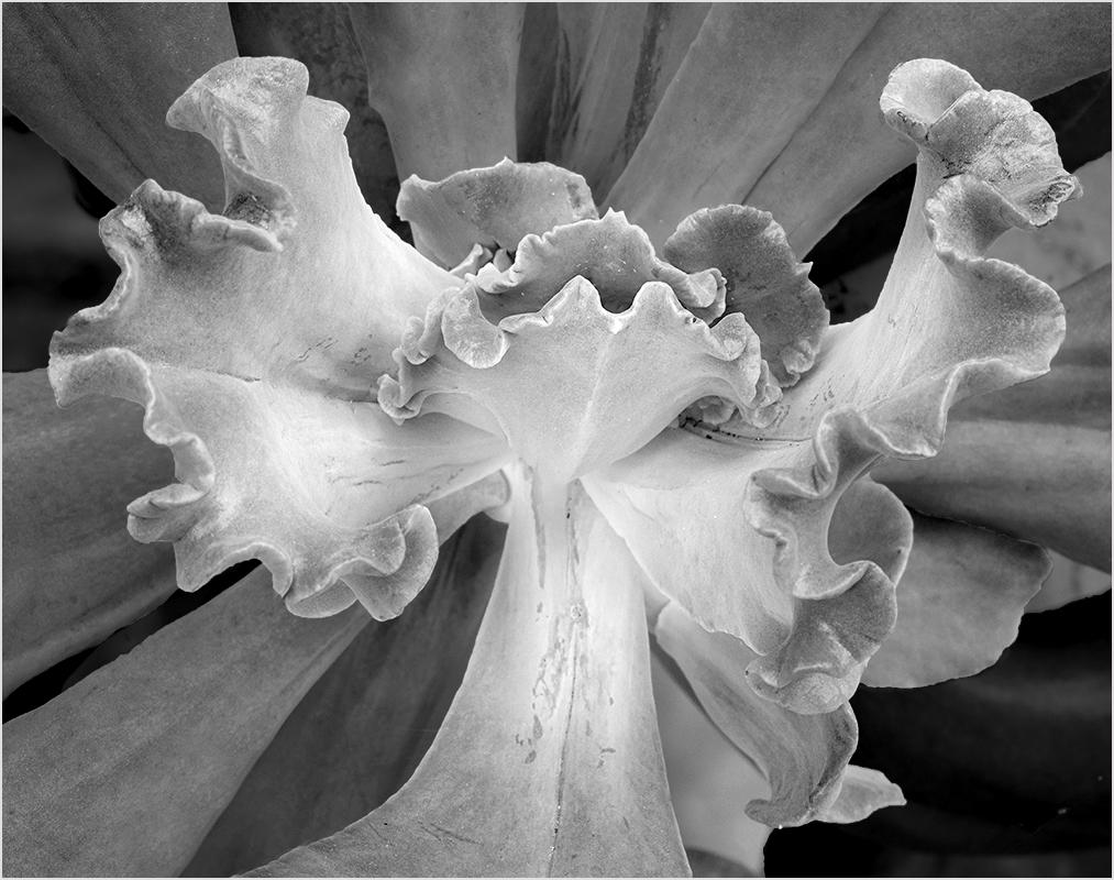 Succulent in San Antonio - Monochrome Print - Peggy Boike