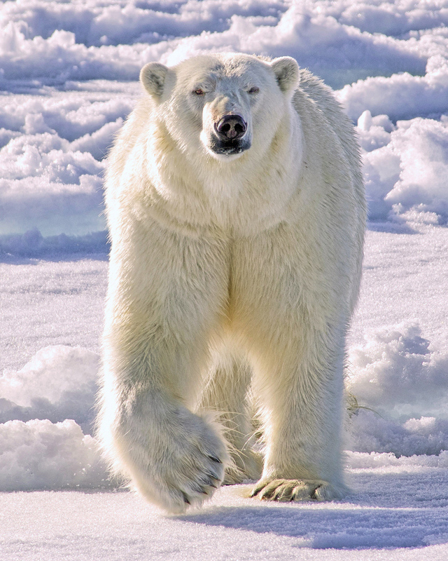 White Bear in a White Land - Color Print - Name Withheld Per Request