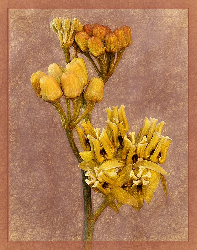 Asclepias Davinci - Color Print - Peggy Boike
