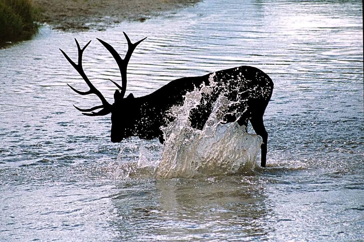 Splashing Elk - Digital(Silhouette) - Name Withheld Per Request
