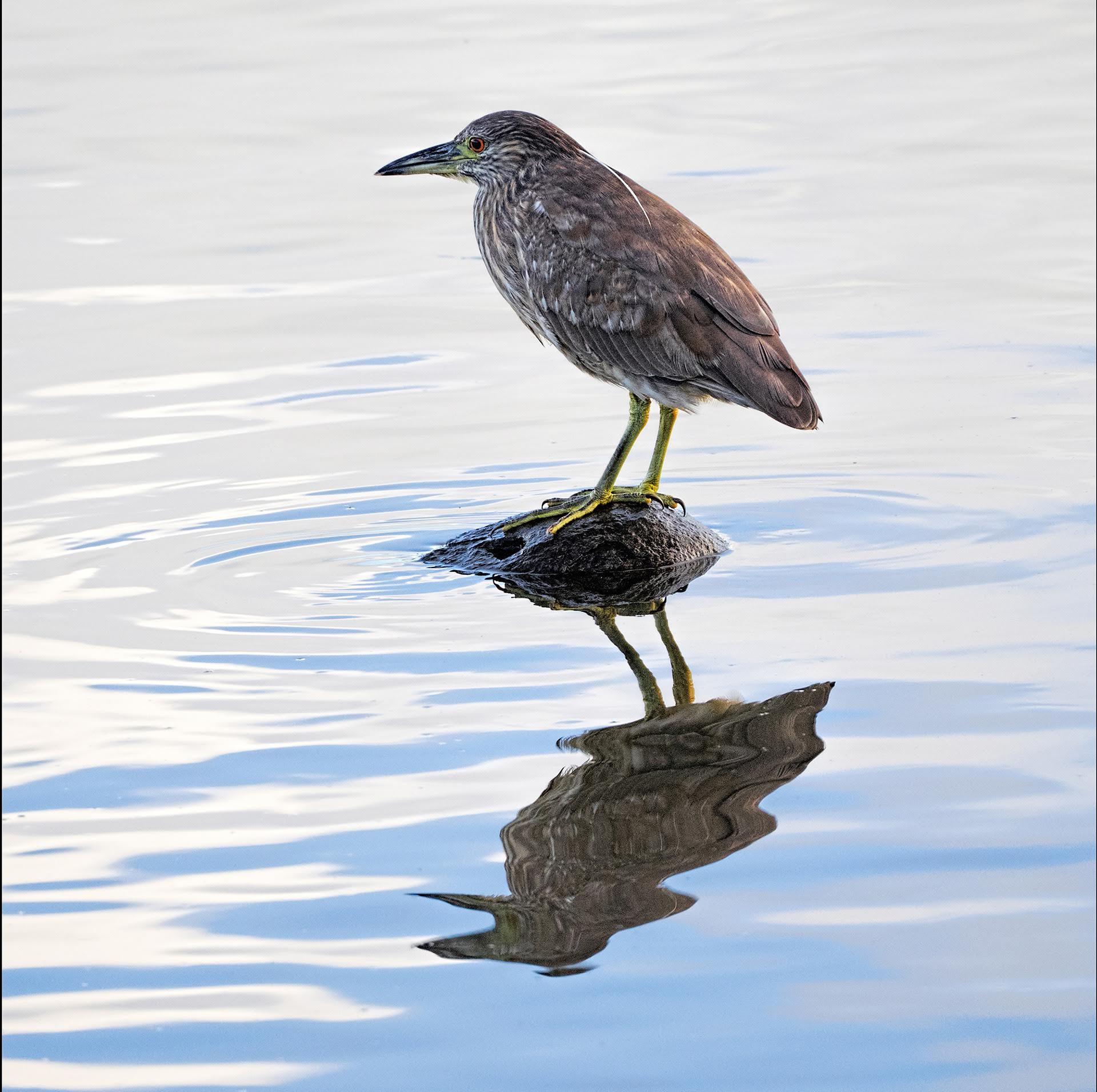 Heron Juvenile - Color Print (Open) - Name Withheld Per Request