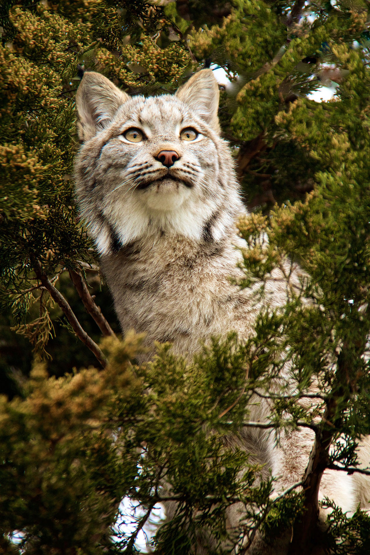 Lynx on Lookout - Color Print(Open) - Name Withheld Per Request