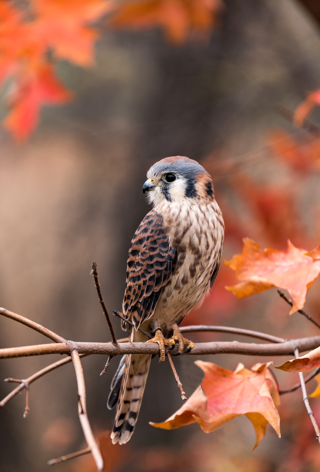 American Kestrel - Color Print(Open) - Name Withheld Per Request