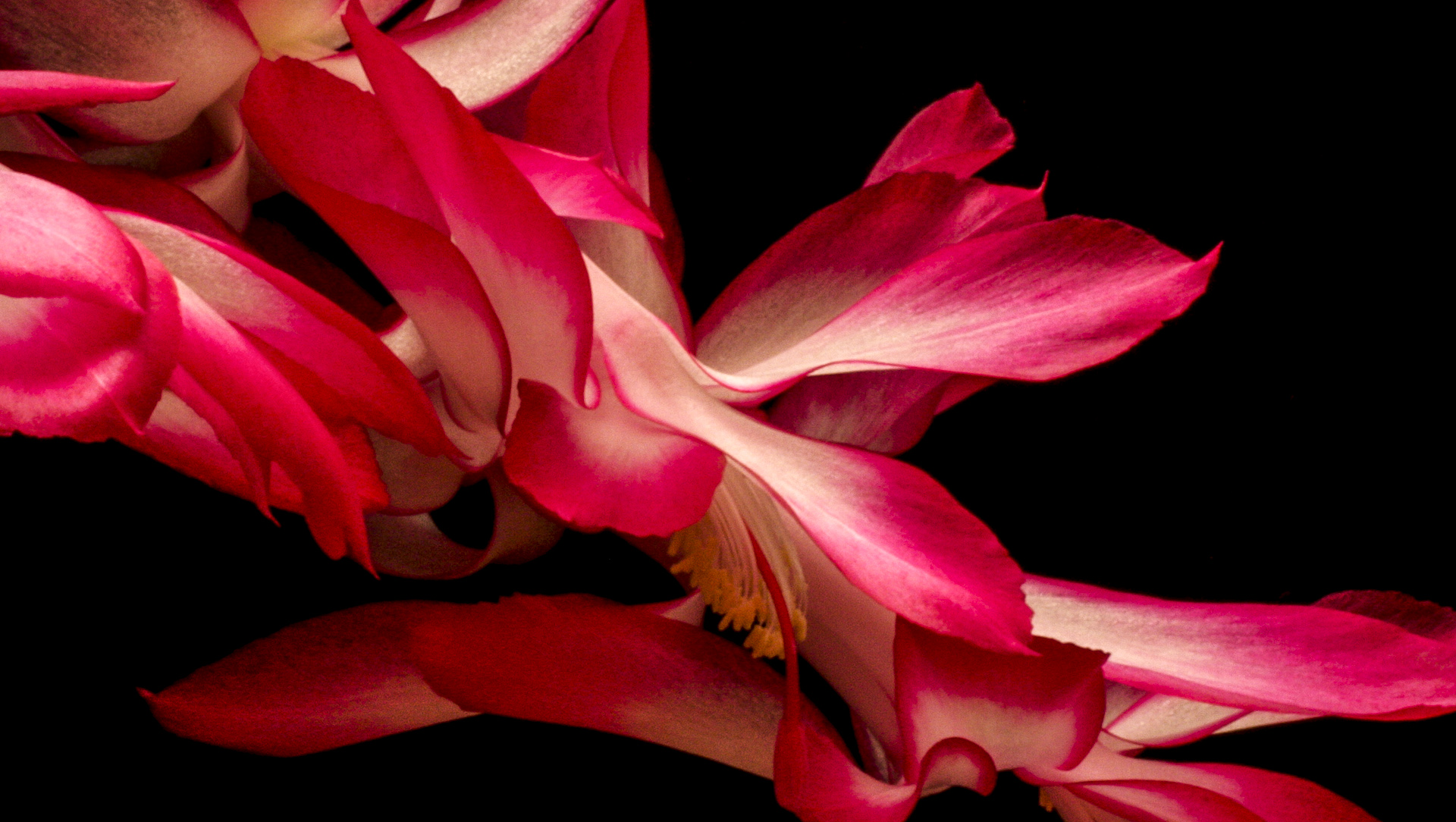 Blooming Christmas Cactus - Digital (Artificial Light) - Name Withheld Per Request