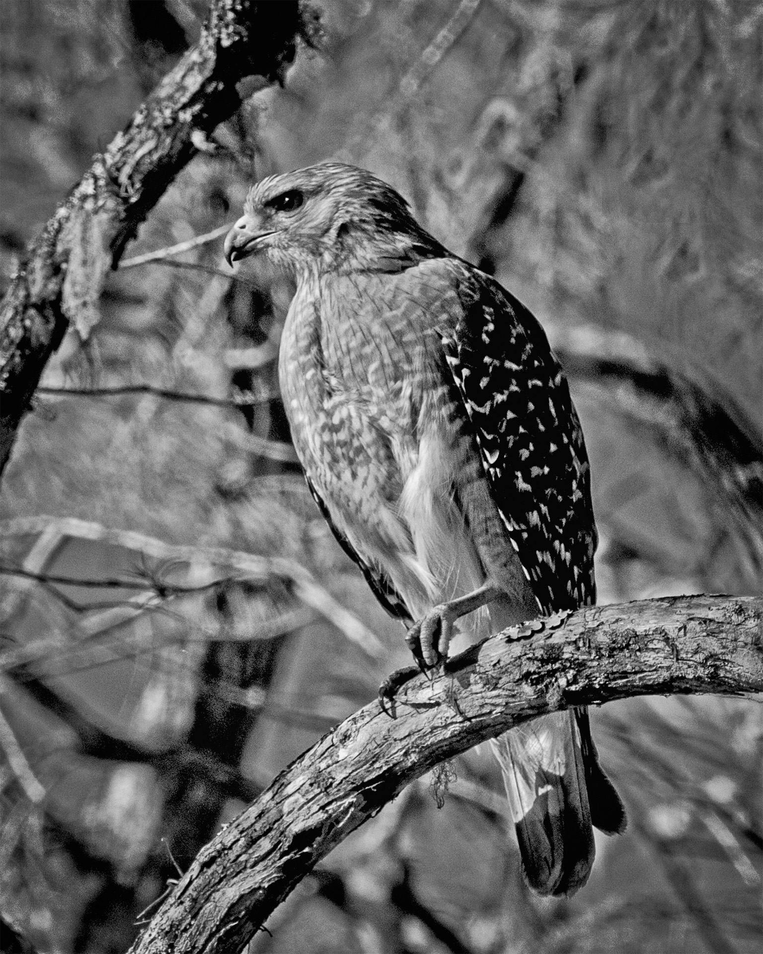 Red shouldered Hawk - Monochrome Print (Open) - Name Withheld Per Request