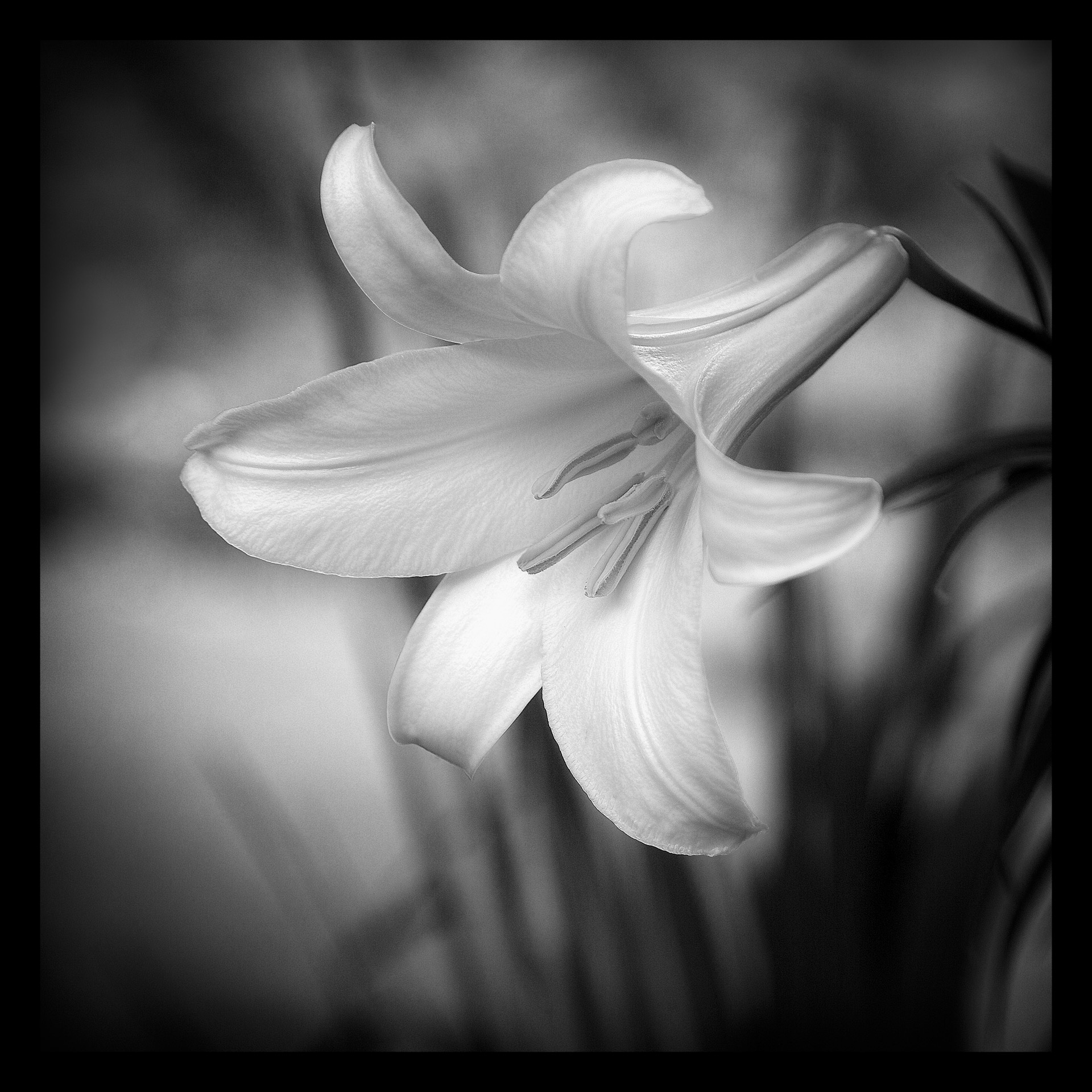 Trumpet Lily - Monochrome Print (Open) - Name Withheld Per Request