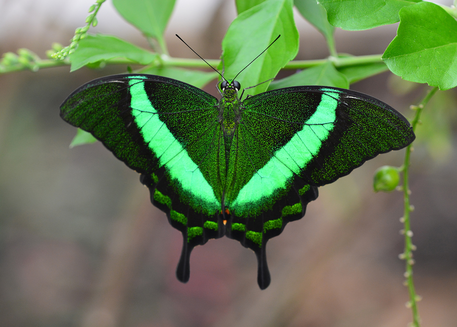 Emerald Swallow Tail - Digital (Shallow Depth of Field) - Name Withheld Per Request