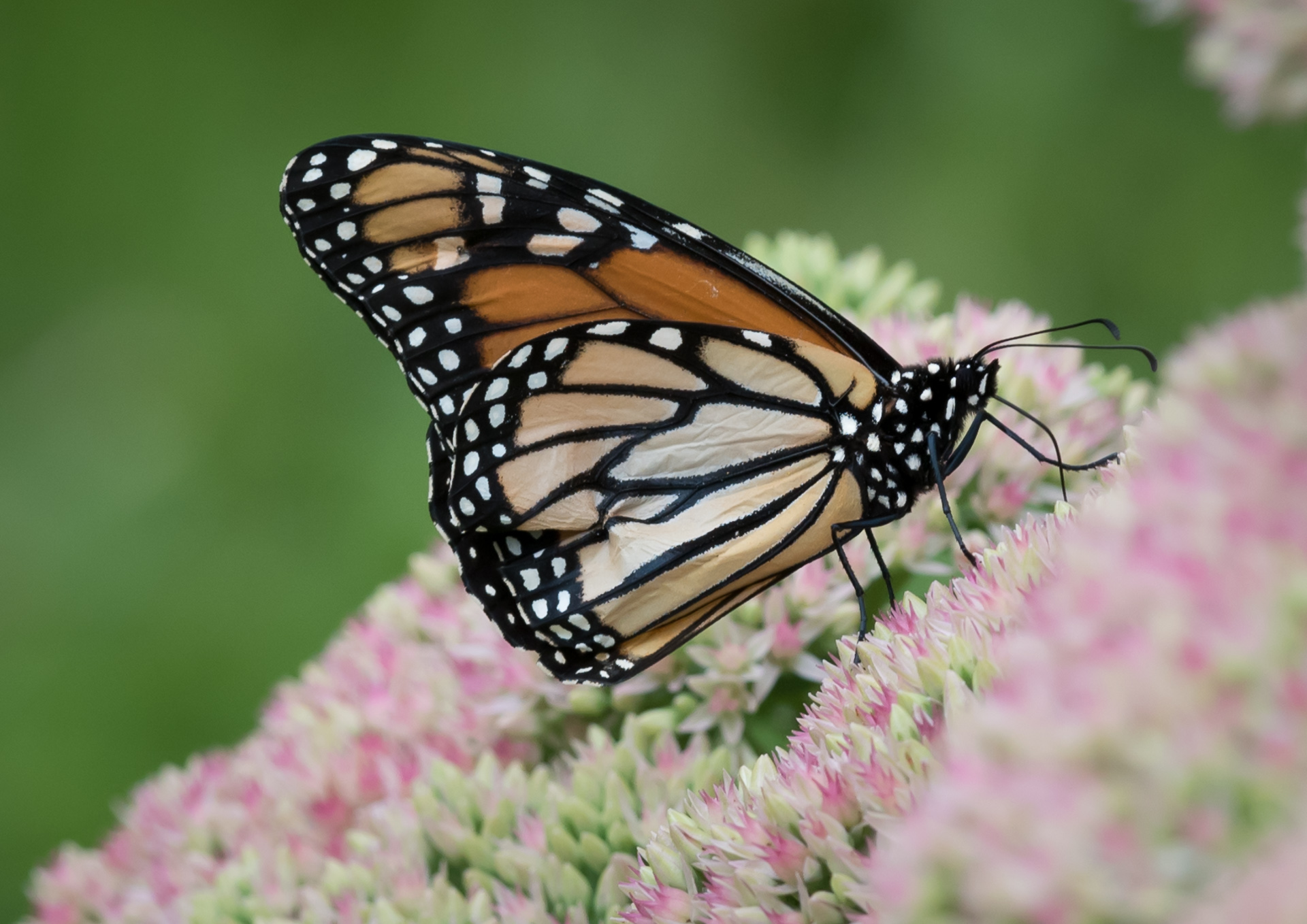 Monarch on Cedum - Digital (Shallow Depth of Field) - Name Withheld Per Request