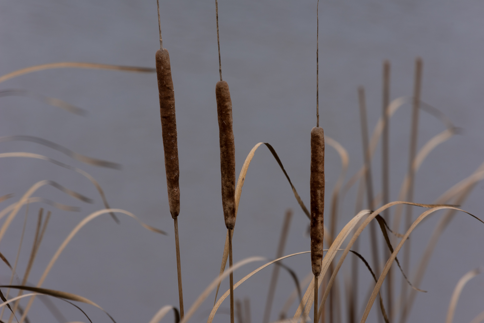 Cattails - Digital (Shallow Depth of Field) - Name Withheld Per Request