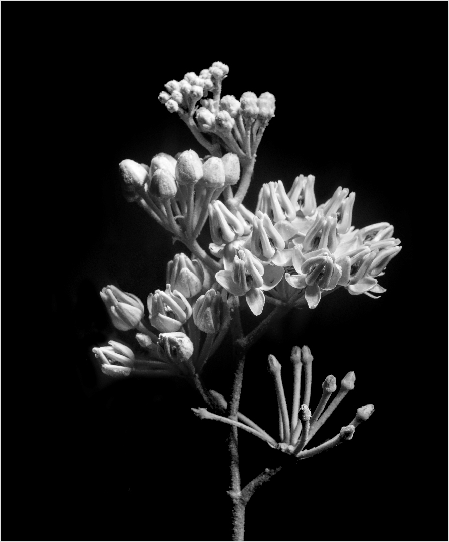 Light Painted Milkweed - Digital (Night) - Peggy Boike