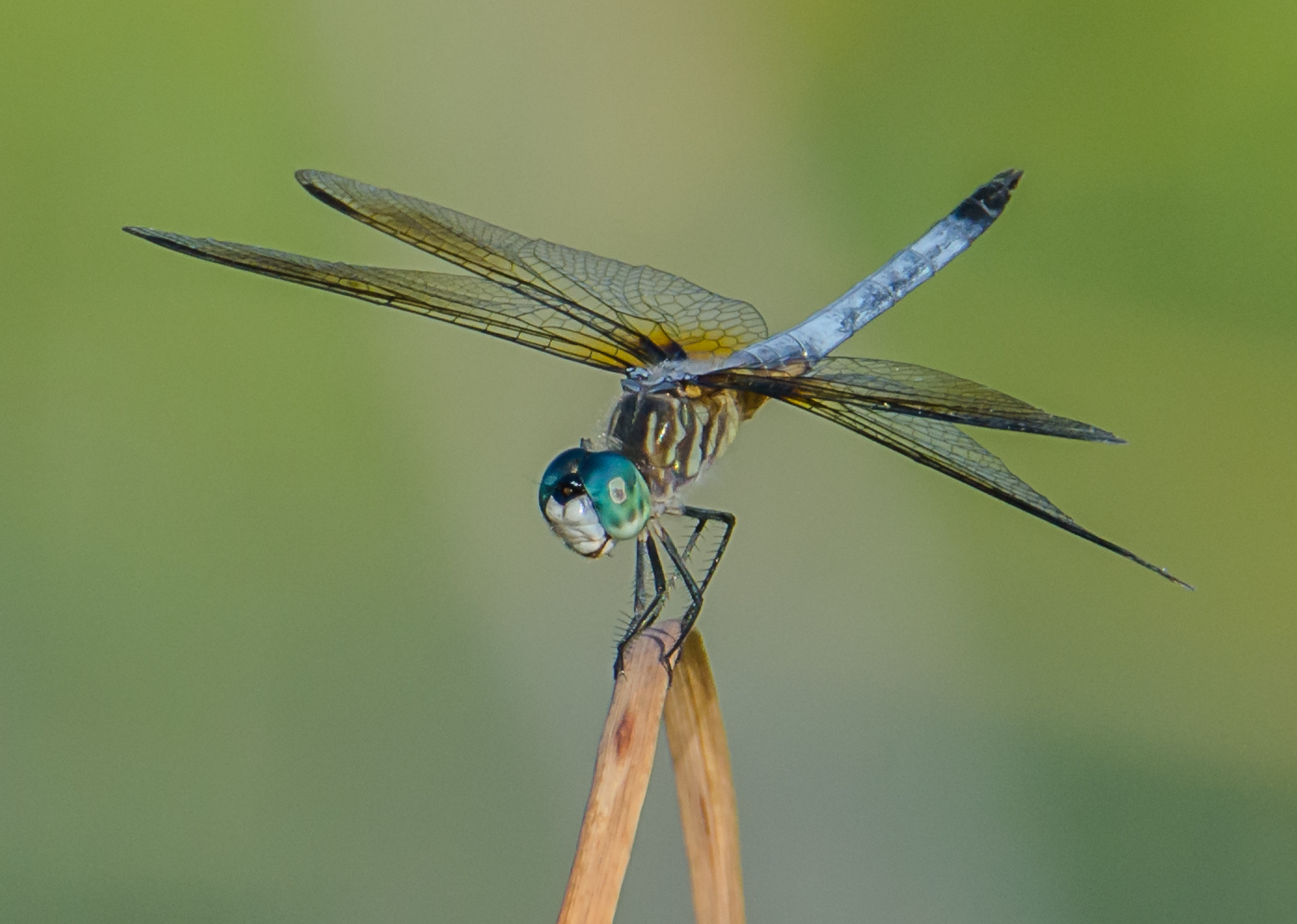 Eastern Pondhawk - Digital (Shallow Depth of Field) - Name Withheld Per Request