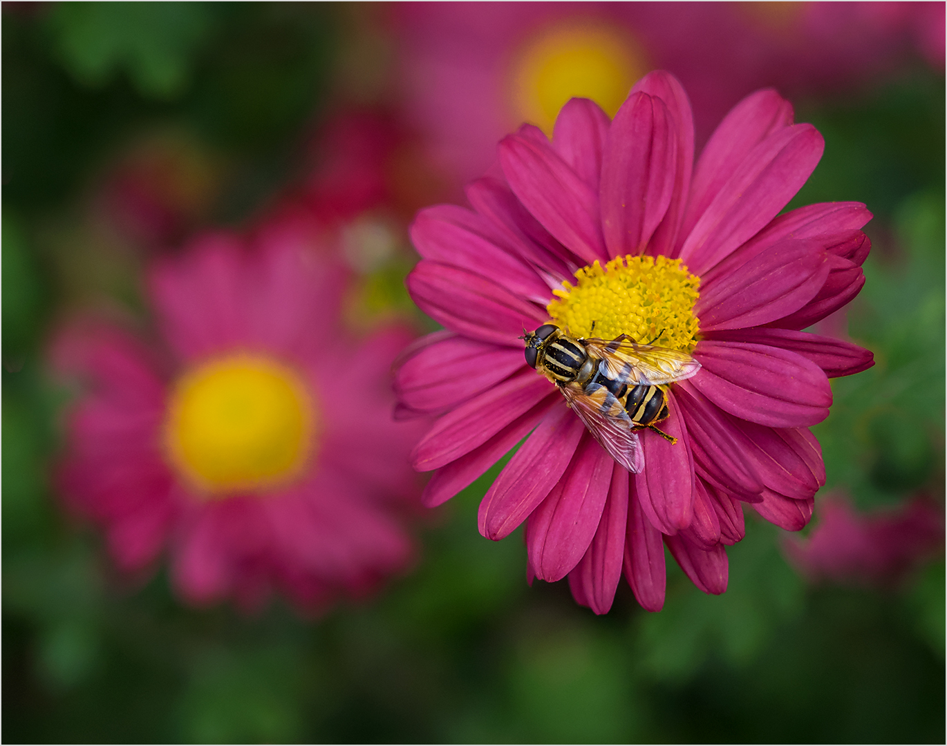 Hover Fly on Red Mum - Digital (Shallow Depth of Field) - Peggy Boike