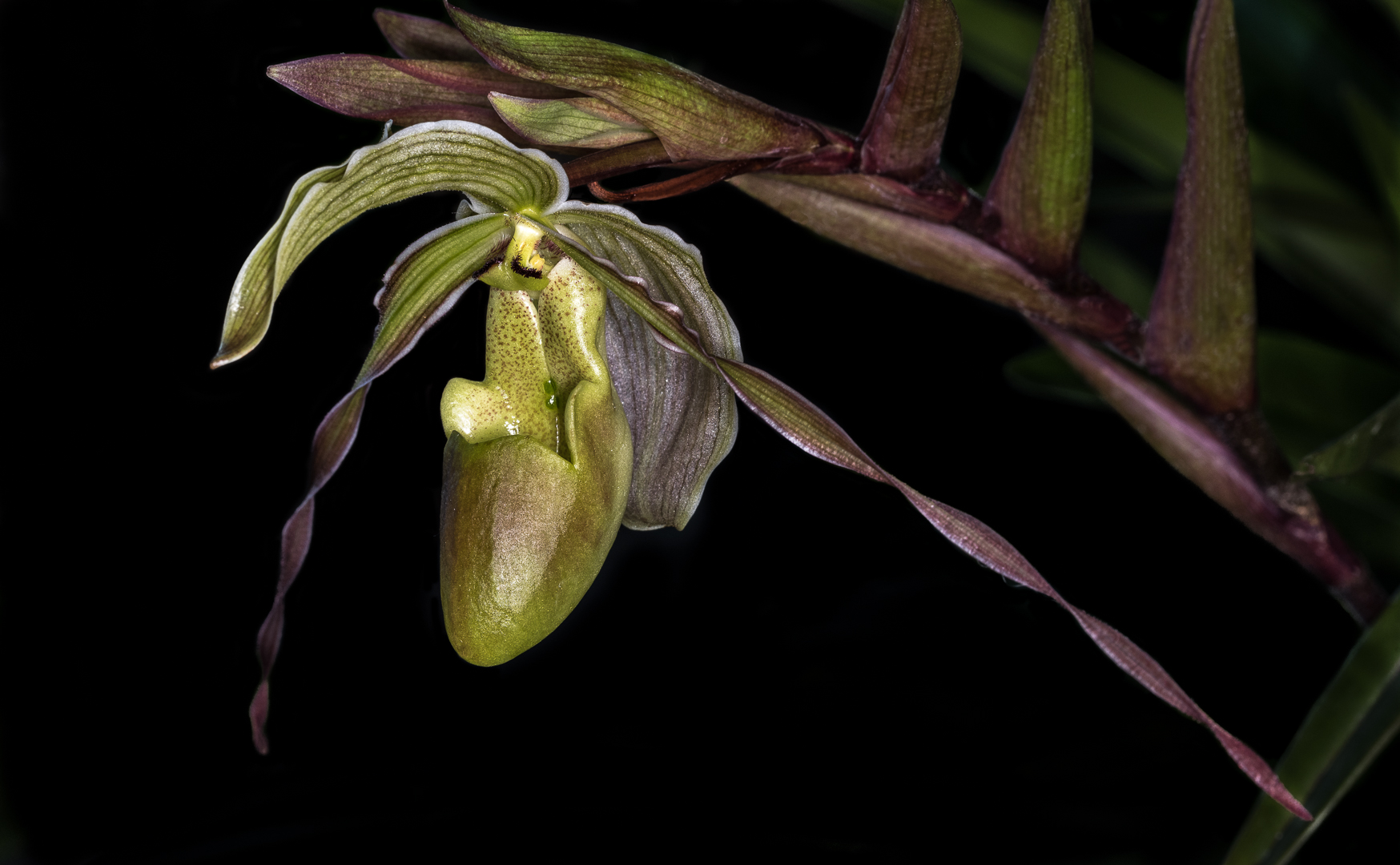 Green Ladyslipper - Como Conservatory - Color Print (Open) - Name Withheld Per Request