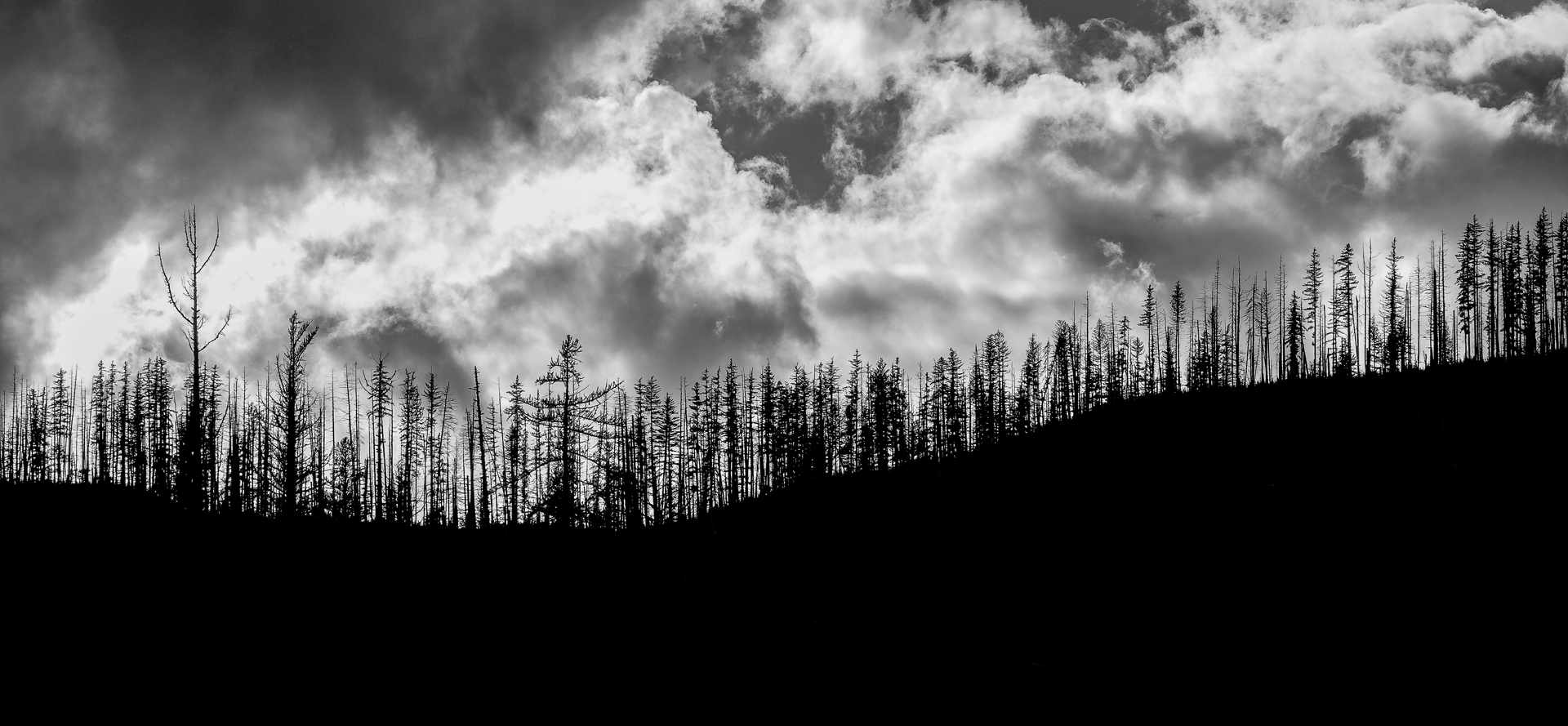 Forest Fire Aftermath - Monochrome Print (Open) - Bob Muschewske
