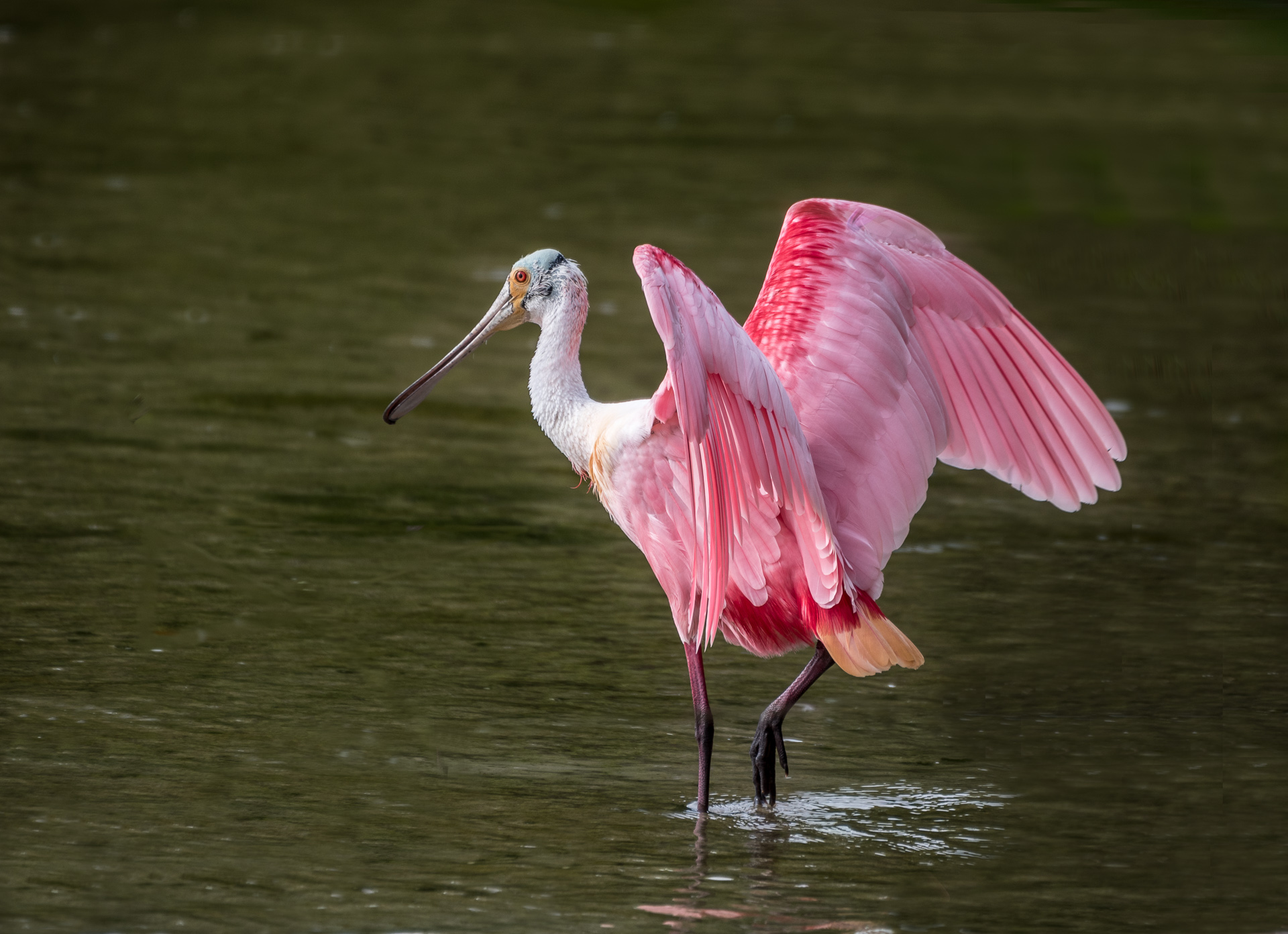Roseate Spoonbill at Ding Darling - Color Print (Open) - Name Withheld Per Request