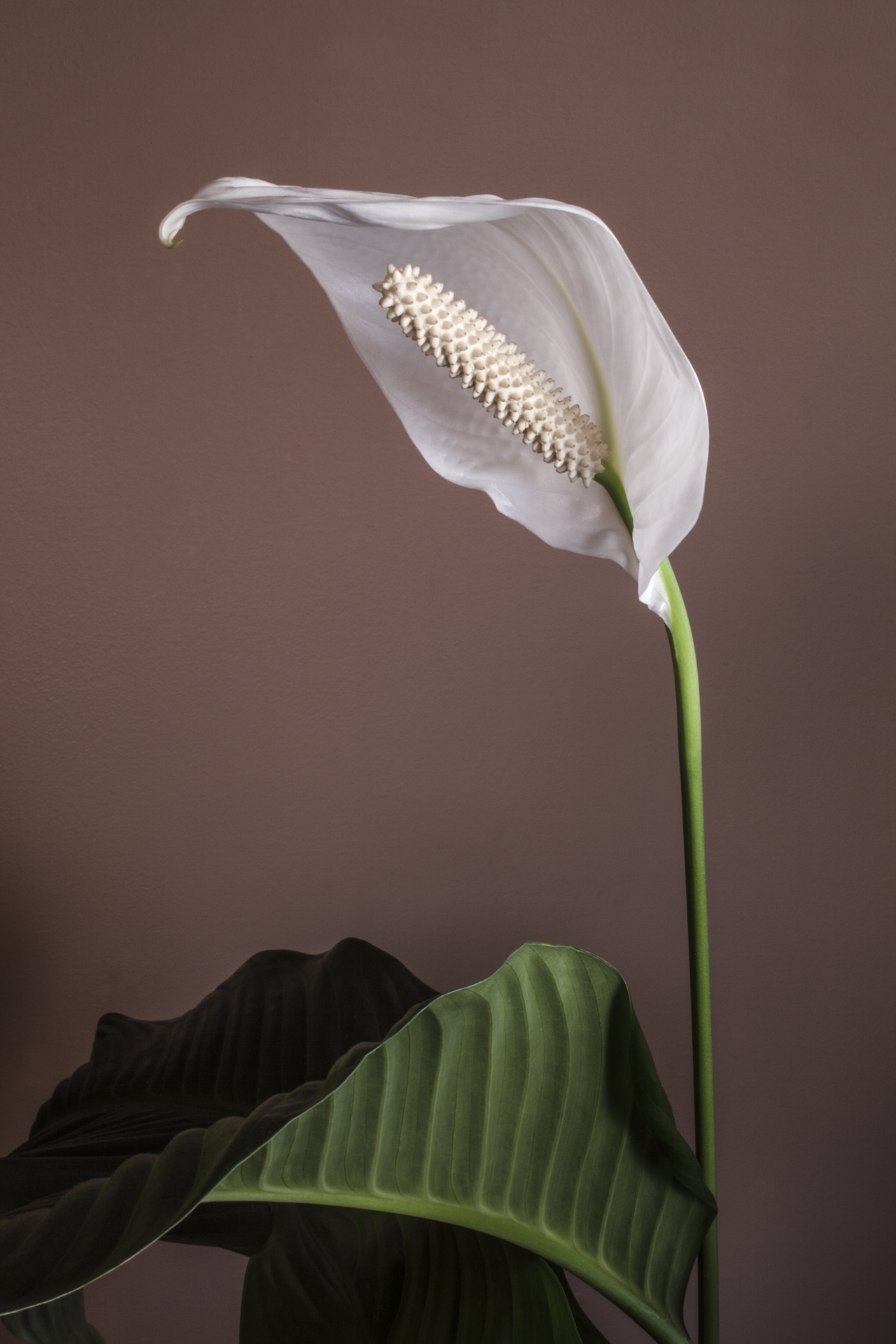 Peace Lilly - Color Print (Open) - Name Withheld Per Request